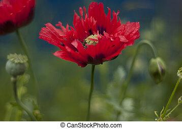 poppy-papaver flower. - A flowering poppy in a field,...