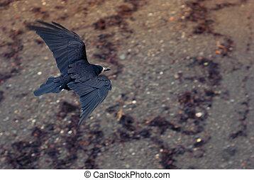 Seaside Raven Flying