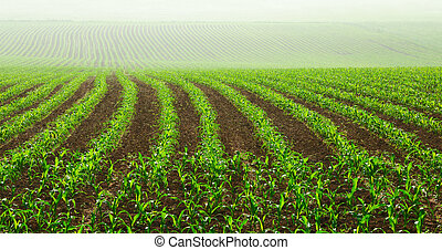 filas, jovem, milho, plantas