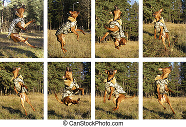 Russian toy terrier jumping