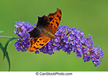 Question Mark butterfly Polygonia interrogationis on purple...