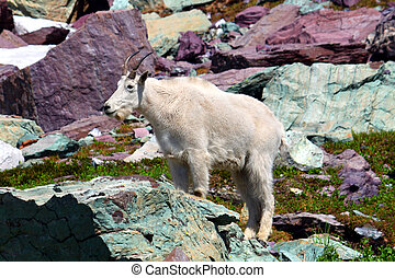 Mountain Goat (Oreamnos americanus) in Glacier National Park...