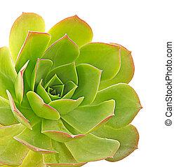 cierre, Arriba, suculento, planta