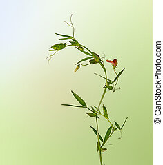 Vetch with flowers isolated on white background