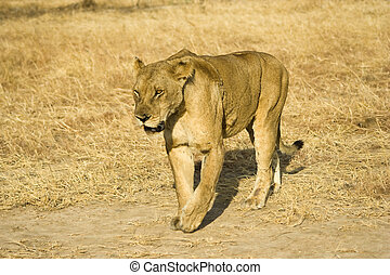 Lioness in Mikumi National Park, Tanzania
