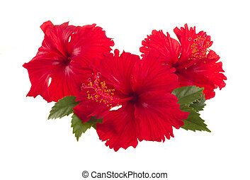 red hibiscus flower - a red hibiscus flower isolated on...