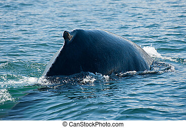 Humpback whale - Mighty Humpback whale (Megaptera...