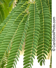 Persian Silk Tree leaves - Close up of a Persian Silk Tree...