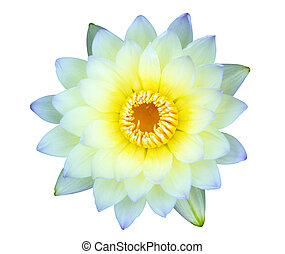 Yellow water lily isolated on white