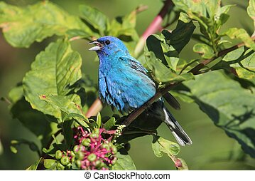 Male Indigo Bunting Passerina cyanea singing on a bush in a...
