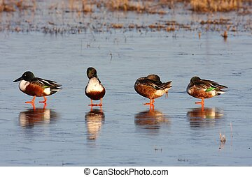 Male Northern Shovelers (Anas clypeata) standing on ice in...