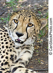 Cheetah portrait - Cheetah or Gepard Acynonyx jubatus
