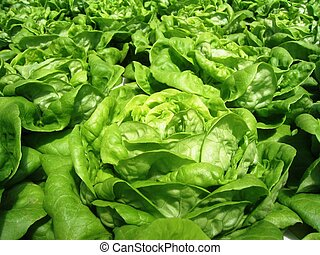 Green Leaf Lettuce - green leaf lettuce or butter-lettuce...