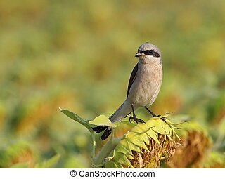 Red backed Shrike on sunflower, Lanius collurio