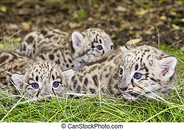 Snow leopard cubs - Pack of Snow leopard (Uncia uncia or...