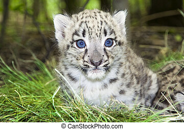 Snow leopard baby - Snow leopard Uncia uncia or Panthera...