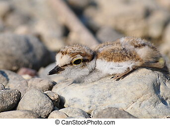 baby Little Ringed Plover - Beautiful baby Little Ringed...