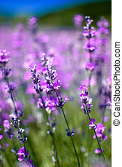 lavender - purple blooming lavender field in Bulgaria