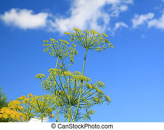 ripe dill on celestial background