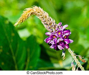 Kudzu flower