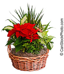 Poinsettia arrangement in basket