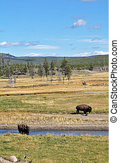 Bisons on a watering place - Bisons go on a watering place...