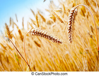 Wheat Field - Ripening ears of golden wheat on the...
