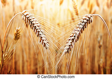 Wheat - Two ears of golden wheat on the background of wheat...