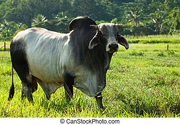 Braham cow in green pasture