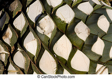 Agave Fruit Mexico - Agave Fruit used to produce tequila,...