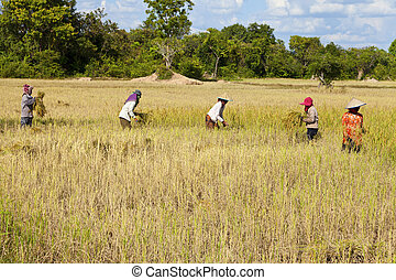 Rice harvesting - Cambodian women working in the rice field...