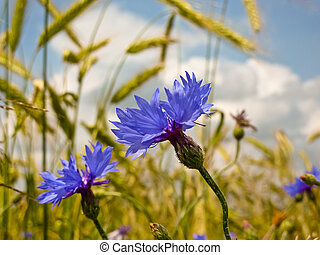 cornflower - corn flower in grain field before harvest