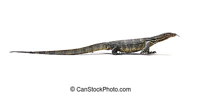 Asian Water Monitor Lizard Varanus salvator on white...