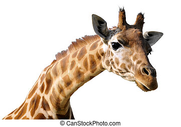 Isolated portrait of giraffe - Profile portrait of giraffe...