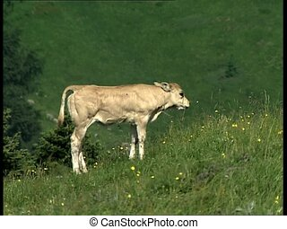 COWS cattle grazing - Italian cattle grazing