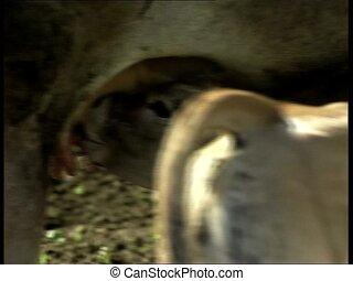 COWS cattle sucking milk 2