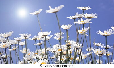 White daisies on blue sky backgroun
