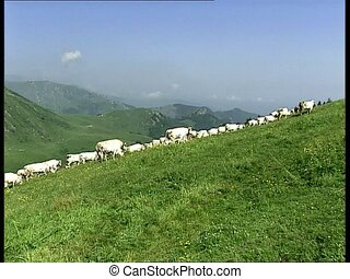 COWS herd climbing a slope LS