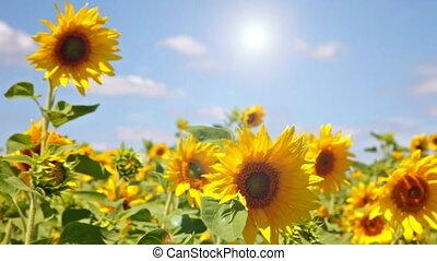 sunflower field - Beautiful landscape with sunflower field...