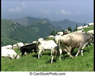 COWS herd climbing and grazing