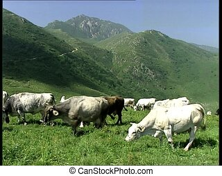COWS herd grazing on a slope