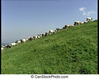COWS herd on a slope low angle