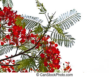 flower - Peacock flowers on poinciana tree. Isolated on...