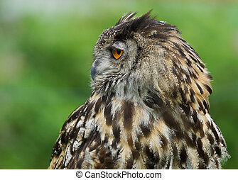 Eurasian Eagle Owl Bubo Bubo - Profile of a Eurasian Eagle...