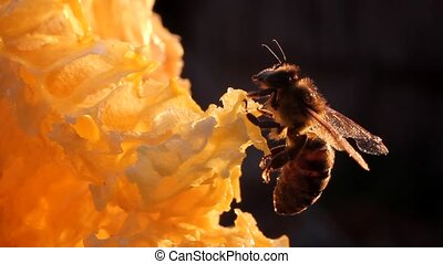 Bee preen - Bee takes off his little drops of honey