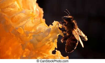 Bee preen - Biology, science, research, monitoring, animals,...