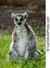 lemur catta / Ring Tailed Lemur - Ring Tailed Lemur Sitting...