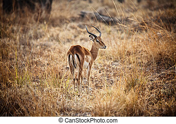 impala - male impala in luangwa national park zambia