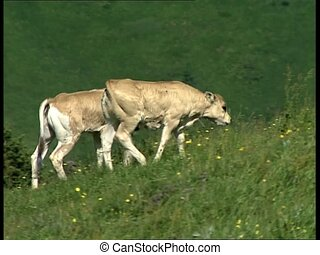 COWS two cattles climbing