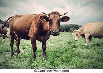 pasto o césped, verde, vaca